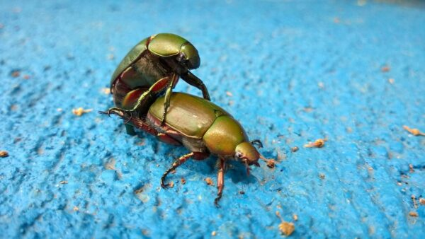 Green beetles fucking